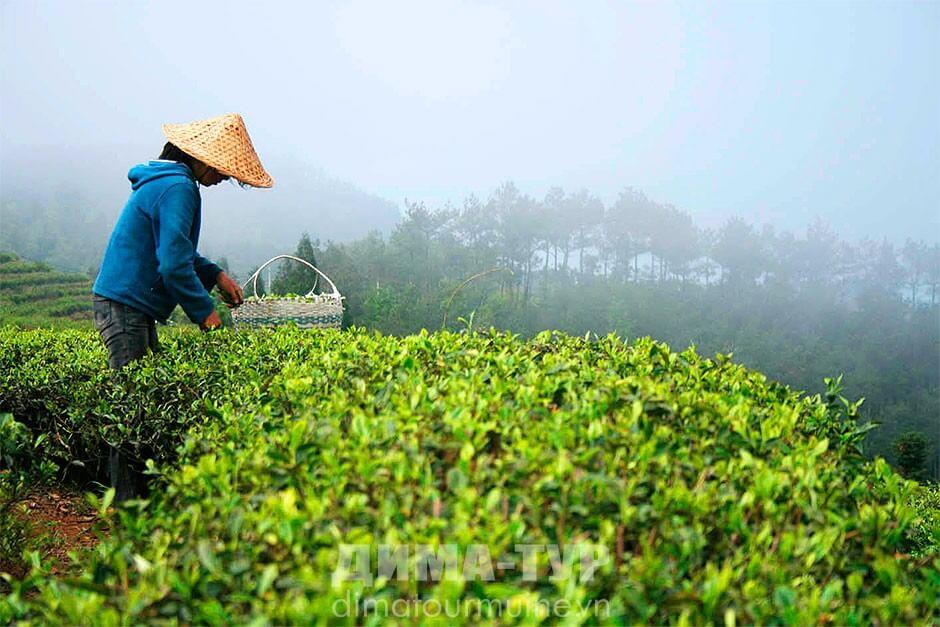 Чай из Вьетнама