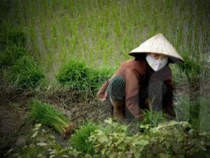 Как выращивают рис во Вьетнаме