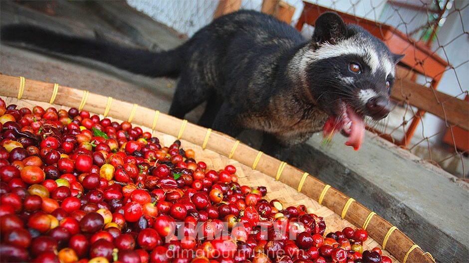 Кофе лювак из Вьетнама