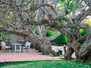 Деревья у маяка Кега. Вьетнам