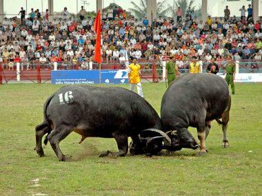 Бои буйволов во Вьетнаме
