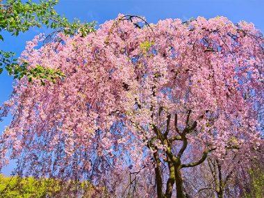 Цветение сакуры во Вьетнаме