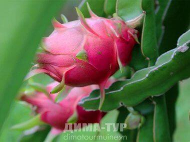 Драгонфрут (питахайя)