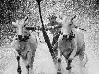 Гонки на быках во Вьетнаме