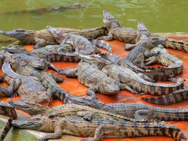 Крокодиловая ферма рядом с Муйне